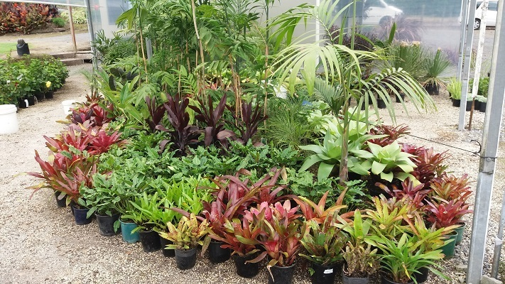 Tractor Seat Plant Varieties : Wholesale palm trees tauranga subtropical plants bay of plenty