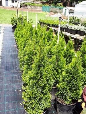 plant nursery tauranga wholesale shrubs rotorua hedging plants. Black Bedroom Furniture Sets. Home Design Ideas